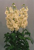 Matthiola LUCINDA Cream