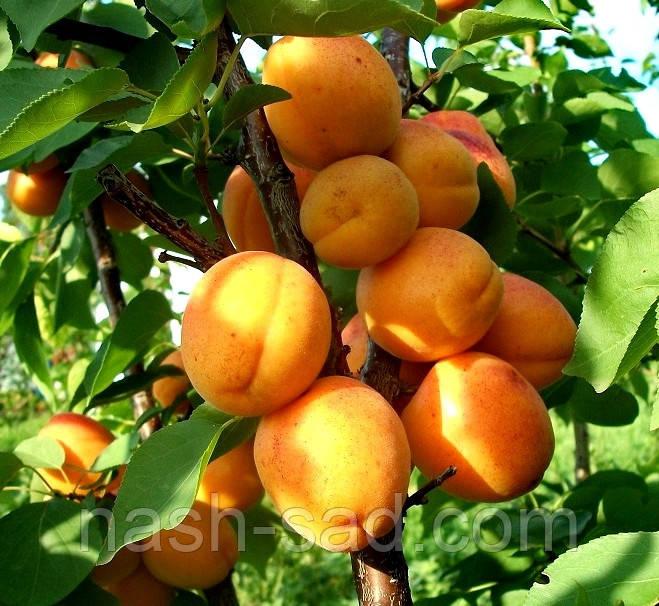 Саженцы абрикоса Лескора (Чехия)