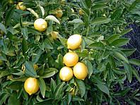 Саженцы лимона Мейера (контейнер)