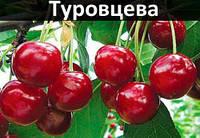 """Саженцы черешни """"Туровцева"""""""