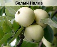 """Саженцы яблони """"Белый налив"""""""