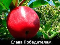 """Саженцы яблони """"Слава Победителям"""""""