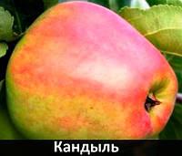 Саженцы яблони Кандыль