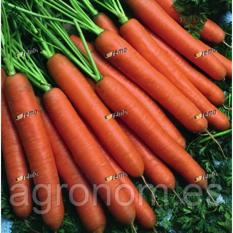 Семена моркови Колосеум F1 1 кг Semo