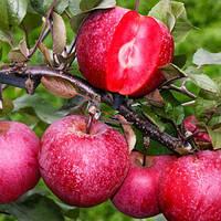 Яблоня Сирена красномясая