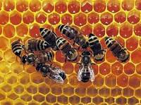 Пчелы живые для апитерапии