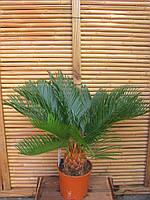 Цикас Революта 24д 80см(саговая пальма)