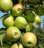 Трайдент колоновидная яблоня