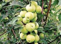Белоснежка колоновидная яблоня