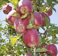 Джин колоновидная яблоня