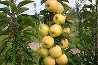 Болеро колоновидная яблоня