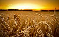 Покупаем пшеницу 4-6-го класса