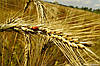 Покупаем пшеницу 3-го класса