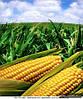 Покупаем кукурузу