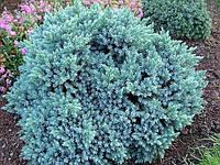 Можжевельник чешуйчатый Blue Star (саженцы зкс)