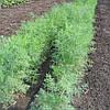 ДИЛЛ - семена укропа, CLAUSE 50 грамм