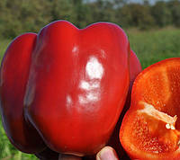 КАРИСМА F1  - семена сладкого перца, 1000 семян, CLAUSE