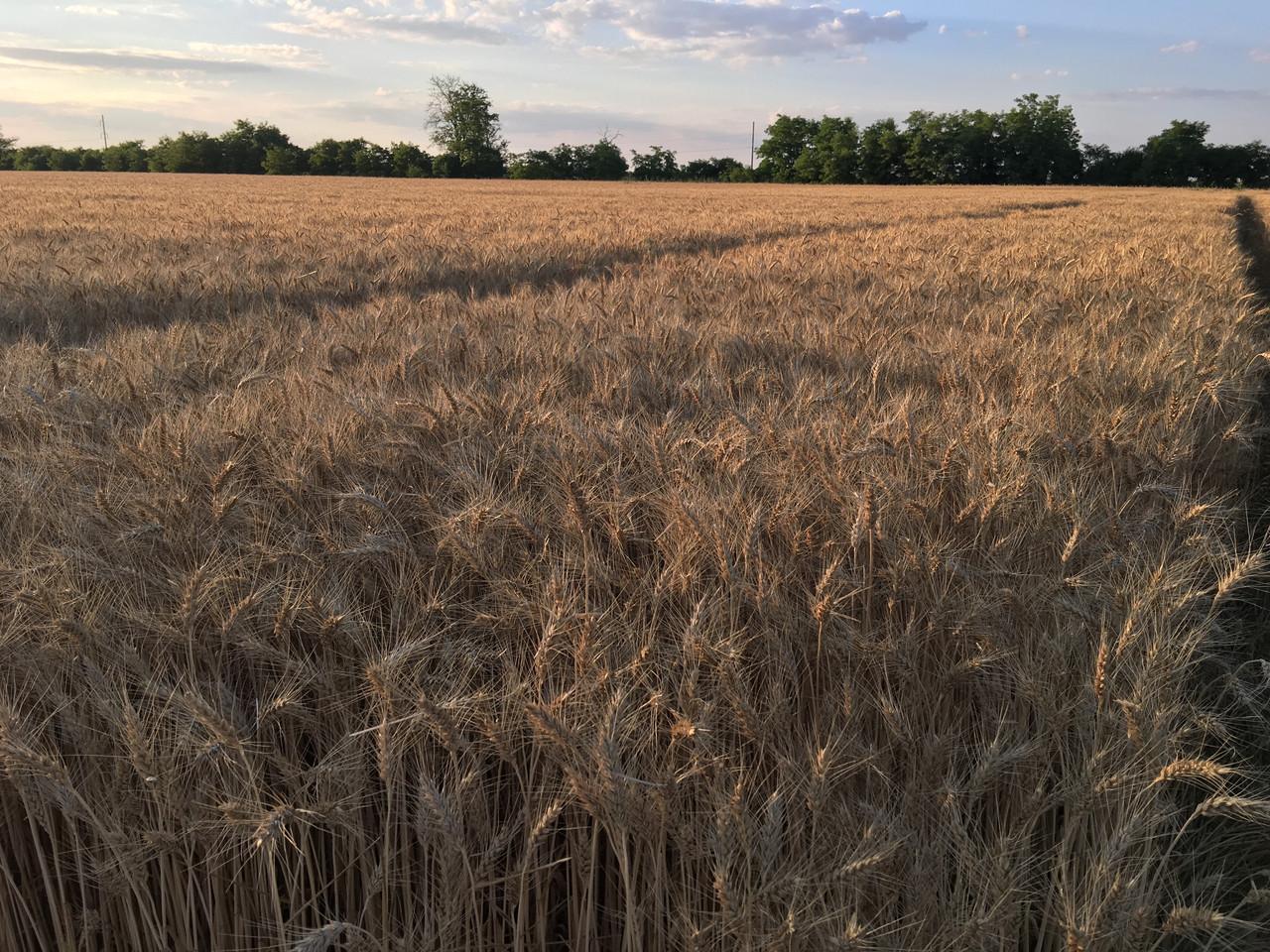 Насіння пшениця озима МУДРІСТЬ ОДЕСЬКА 1P