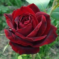 Роза Перл Нуар
