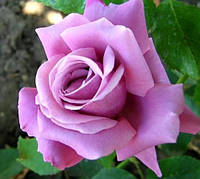 Роза плетистая Блу Вондер (Blue Wonder)