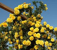 Роза плетистая Голдштерн