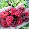 Как увеличить урожай малины и смородины