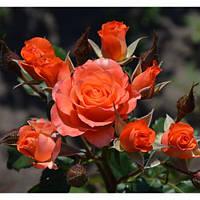 Роза спрей Алегрия, фото 1