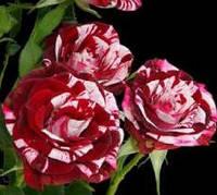 Роза спрей Арроу Фолиес (Arrow Folies), фото 1