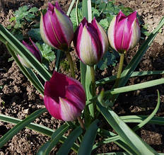 Тюльпаны Ботанические (миниатюрные)