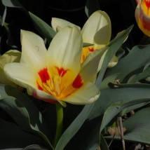 Тюльпаны Гибрид Фостера