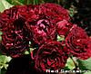 Роза спрей Ред Сенсейшн (Red Sensation)