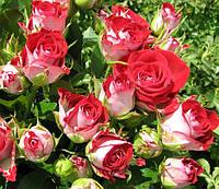Роза спрей Руби Стар (Rubi Star), фото 1