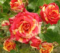 Роза спрей Фаер Флеш (Fire Flash), фото 1