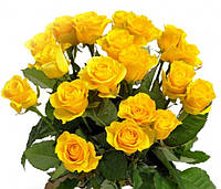 Роза спрей Шанни, фото 1