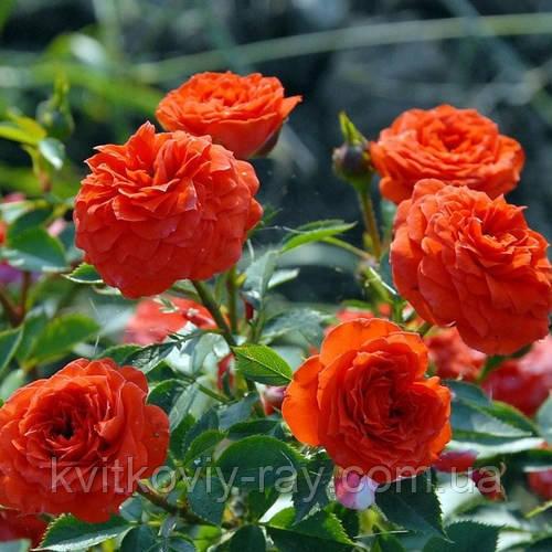спрей и фото описание роза оранж