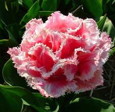 Тюльпаны Махровые Бахромчатые