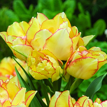 Тюльпаны Махровые многоцветковые