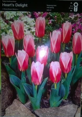 Тюльпан низькорослий Heart's Delight