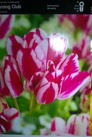 Тюльпан багатоквітковий Flaming Club