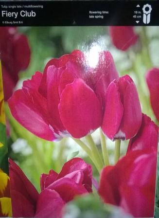 Тюльпан багатоквітковий Fiery Club