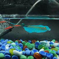Скат люминесцентный Голубой декор аквариума, фото 1