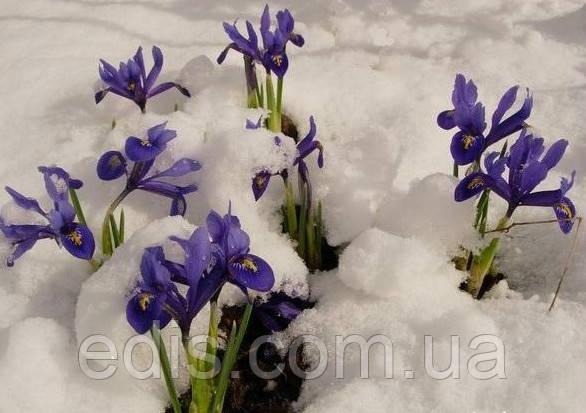 Ирисы ретикулата цветут из-под снега