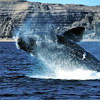 Косметическое масло Whale Liver из свежей печени кита