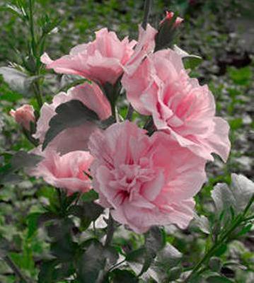 Гибискус сирийский махровый розовый.