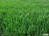 Райграс пастбищный многоукосный, фото 2