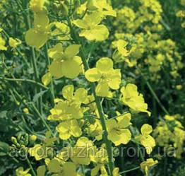 Семена рапса сорт Ексагон (Monsanto)