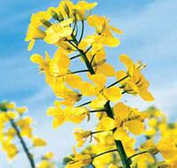 Семена рапса сорт ДК Серенада (Monsanto)