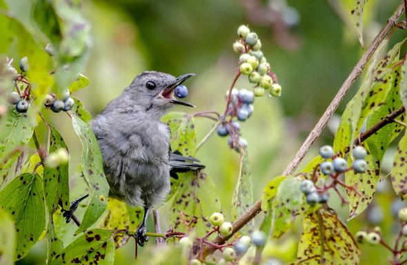 вредители голубики, птицы на голубике, вредители голубики, саженцы голубики и их вредители
