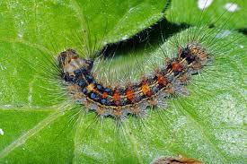 гусеница шелкопряда