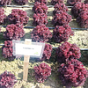 Семена салата Кармези 5000 семян Rijk Zwaan